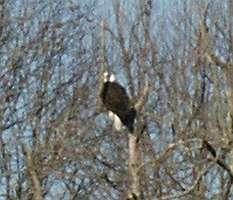 Springville Eagle